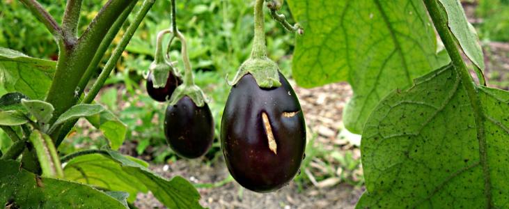 Go for an Edible Garden